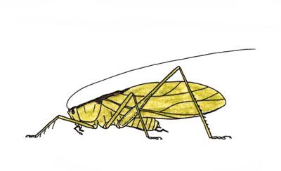 ハヤシノウマオイ 鳴く虫・はねる虫 (キリギリスのなかま) ハヤシノウマオイ Hexacentr